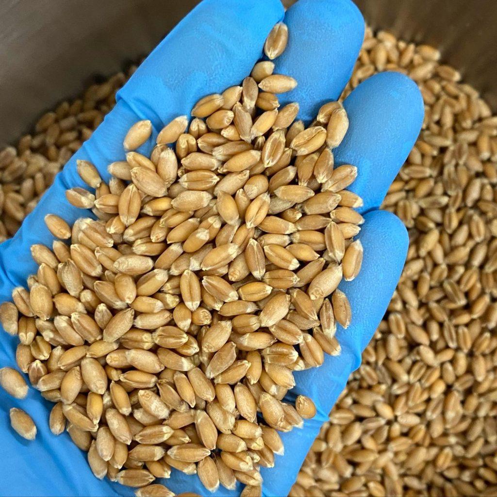 Yugi wheat ゆぎっ小麦(謎小麦の品種がわかるまでの仮名)